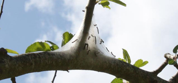 https://res.cloudinary.com/growinginteractive/image/upload/q_80/v1464043164/bigbughunt/pests/us/tent-caterpillars.jpg