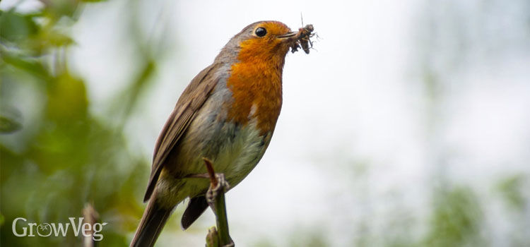 British robin with an insect in its beak