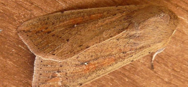 Armyworm adult