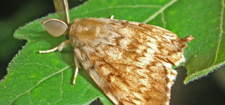 Gypsy moth caterpillar