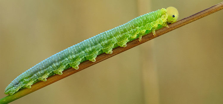 https://res.cloudinary.com/growinginteractive/image/upload/q_80/v1464344244/bigbughunt/pests/us/sawfly-Tenthredinidae-credit-aleksey_gnilenkov.jpg.jpg