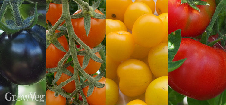 Colorful tomato varieties