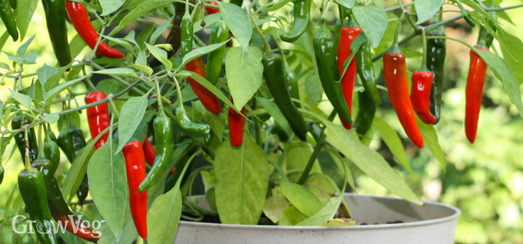 Grow A Garden In Pots How to grow peppers in containers workwithnaturefo