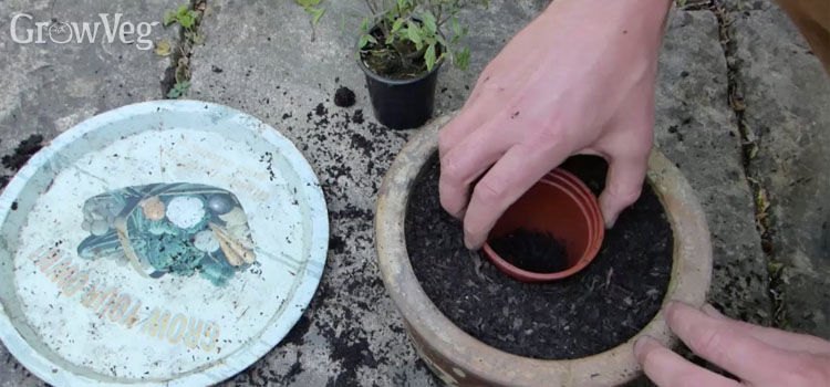 Using an old plastic pot as a planting guide