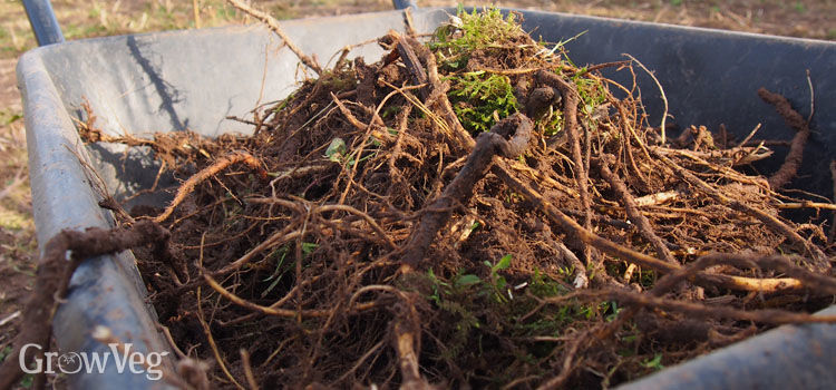 Perennial weed roots in a wheelbarrow