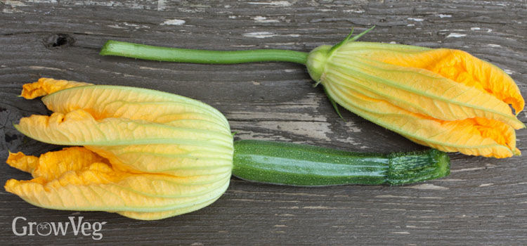 3 common squash problems and how to solve them male top and female bottom squash flowers mightylinksfo