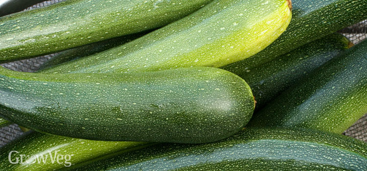 https://res.cloudinary.com/growinginteractive/image/upload/q_80/v1467923210/growblog/zucchini-harvest-2x.jpg
