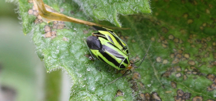 Adult four-lined plant bug