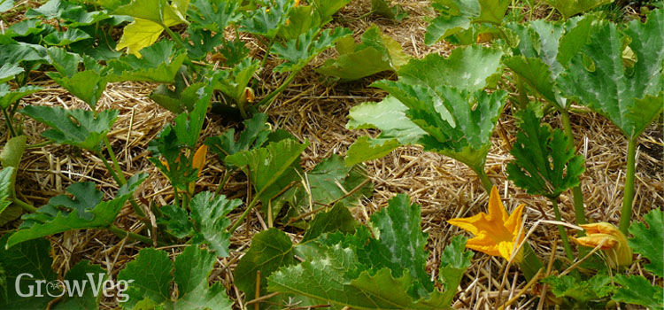 Zucchinis with a straw mulch