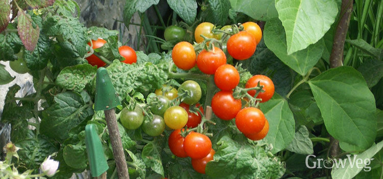 Tomato fruits set and ripening