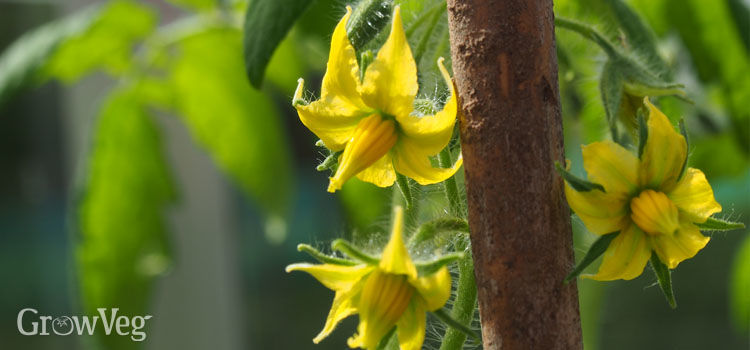 Top 3 reasons why your tomatoes are not setting fruit tomato flowers mightylinksfo