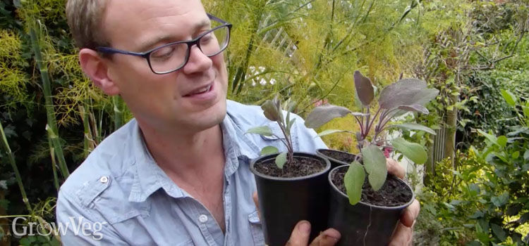 Benedict Vanheems with his potted-up sage cuttings