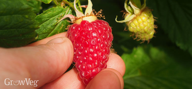 Picking an autumn raspberry