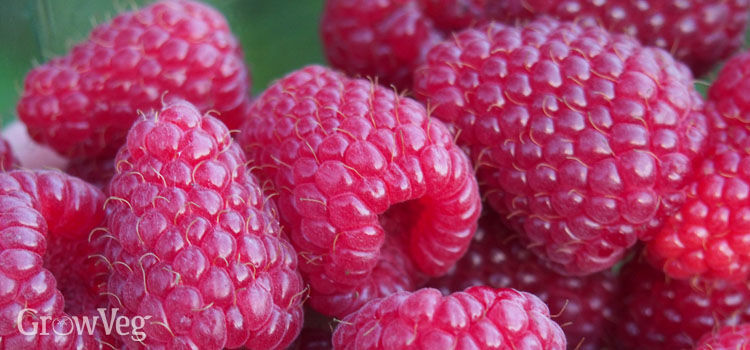 https://res.cloudinary.com/growinginteractive/image/upload/q_80/v1471963189/growblog/raspberries-harvested-2x.jpg