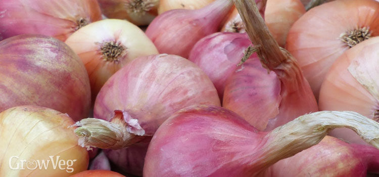 Onions harvested and ready for storing