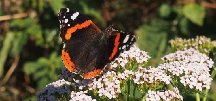 Red admiral butterfly on yarrow