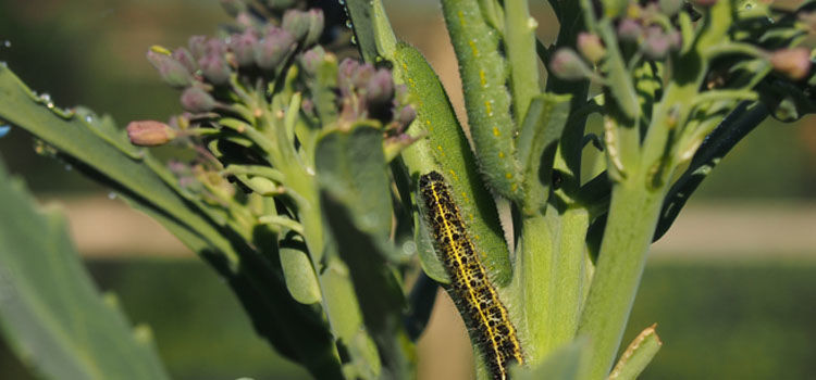 Small cabbage white butterfly caterpillars are better camouflaged than the yellow and black larvae of large cabbage white butterflies.