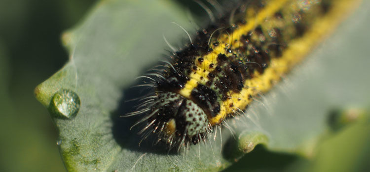 Large cabbage white butterfly larva