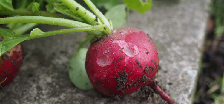 Slug damage on a radish