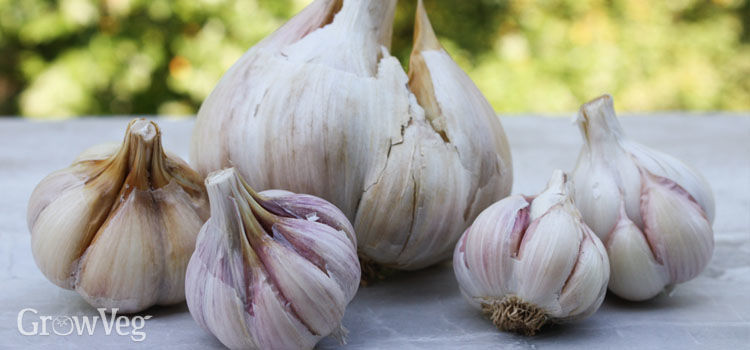 https://res.cloudinary.com/growinginteractive/image/upload/q_80/v1475165682/growblog/garlic-varieties-2x.jpg