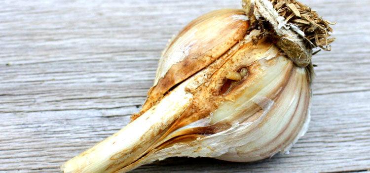 Onion root maggots in garlic