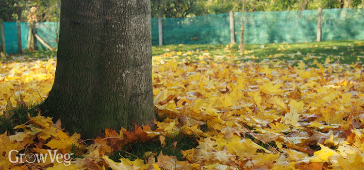 Fallen leaves on a lawn under a sycamore tree