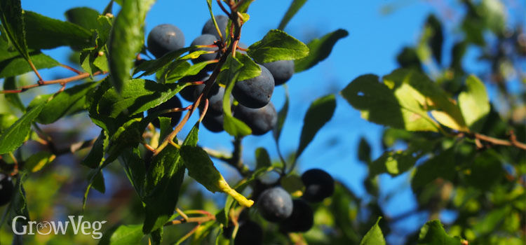 Ripe sloes on a blackthorn bush