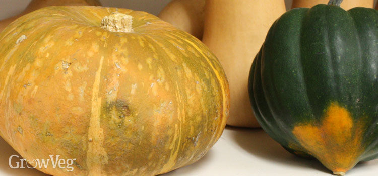 Kubocha squash showing signs of spoilage next to an unspoiled acorn squash