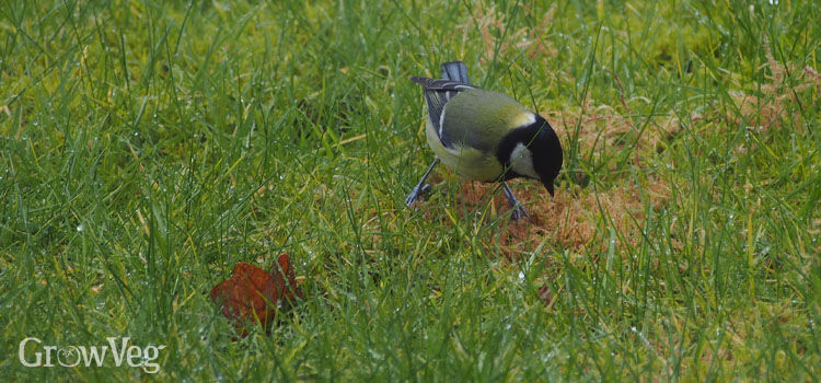 Tit feeding on a lawn