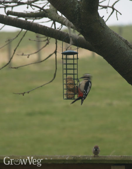 Woodpecker eating fat balls from a feeder, watched by a grumpy sparrow