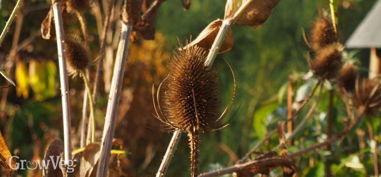 Teasel makes an excellent bird-attracting plant
