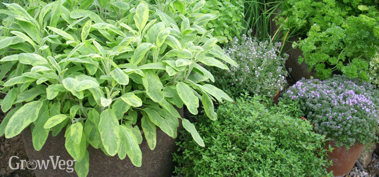 Herbs in a terracotta pot
