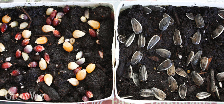 Popcorn and sunflower seeds sown on the soil surface for growing as microgreens