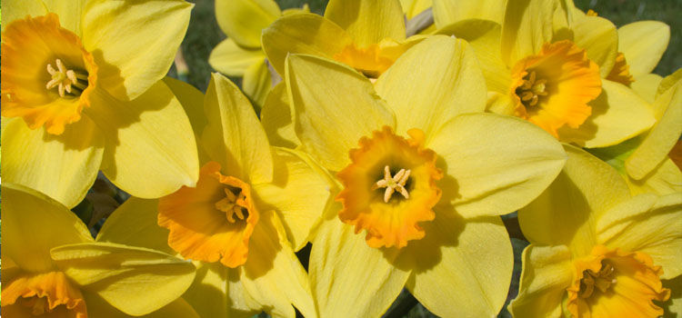 Daffodil, also known as Narcissus, Jonquil