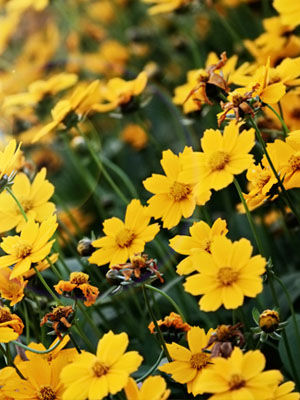 Coreopsis, also known as Tickseed, Calliopsis