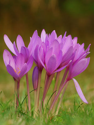 Colchicum, also known as Autumn Crocus