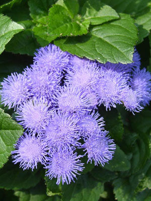 Ageratum, also known as Flossflower