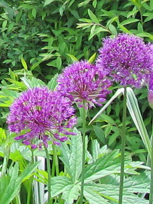 Allium (Ornamental)