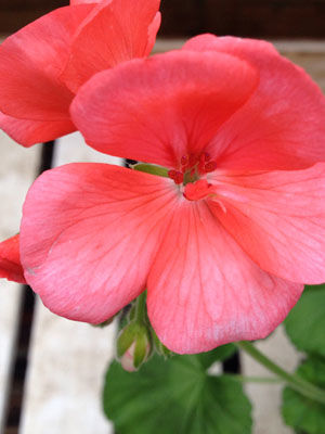 Geranium, also known as Pelargonium