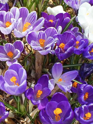 Crocus Weather And Then Some >> Crocus Grow Guide
