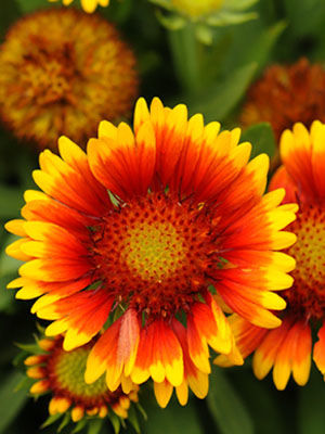 Gaillardia grow guide gaillardia growing guide mightylinksfo