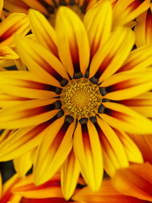 Gazania, also known as Treasure Flower