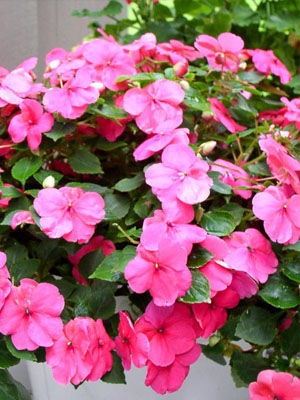Impatiens, also known as Busy Lizzie