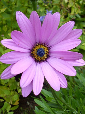 Osteospermum, also known as African Daisy