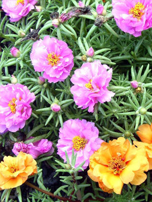 Portulaca, also known as Moss Rose