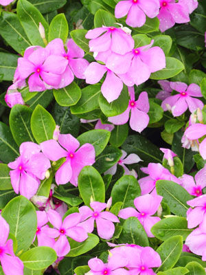Vinca (Annual), also known as Madagascar Periwinkle