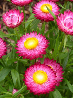Strawflower grow guide strawflower mightylinksfo