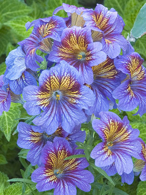 Salpiglossis, also known as Painted Tongue
