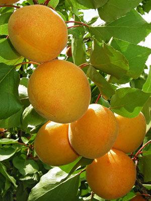 Apricot (Dwarf)
