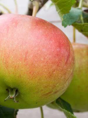 Apple (Large)